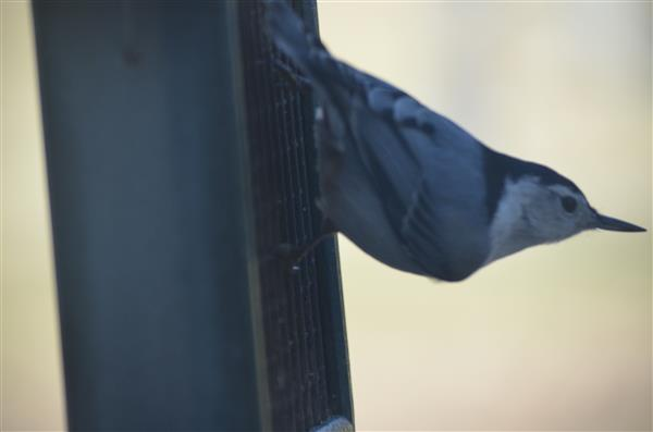 Rittner, Zachary / The Great Backyard Bird Count